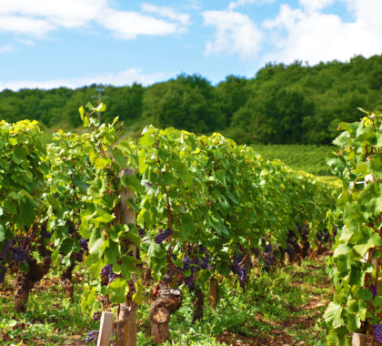 Typical red wine vineyard in France