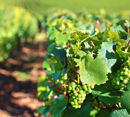 Chardonnay grapes for white wine growing in a vineyard in the Burgundy region of France